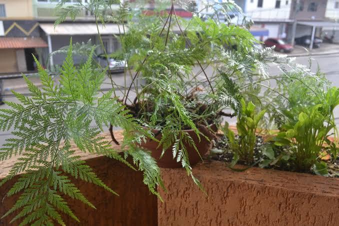 Como plantar samambaia