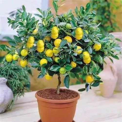 Plantas frutíferas para vaso