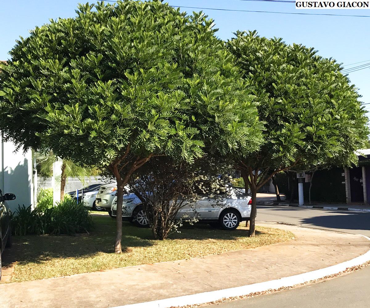 Árvore samambaia