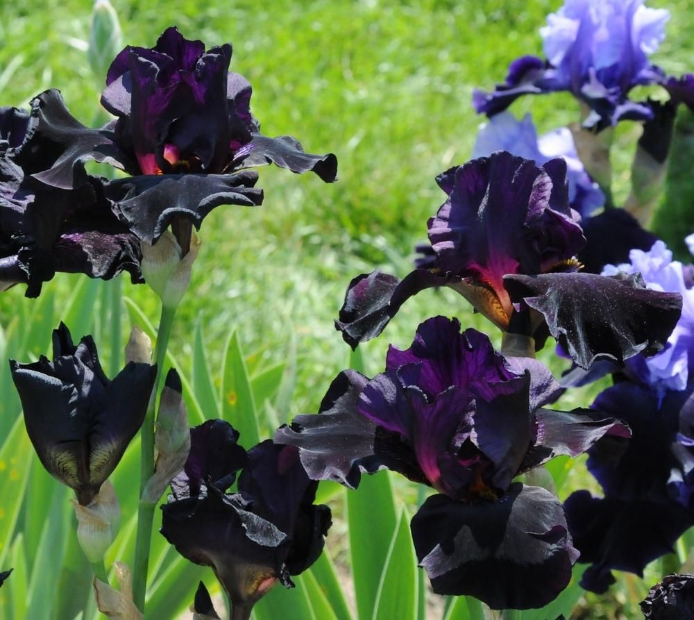 Flores Pretas