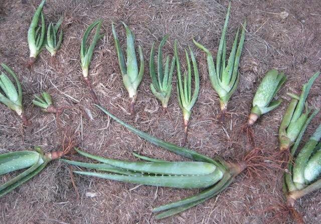 Como plantar babosa